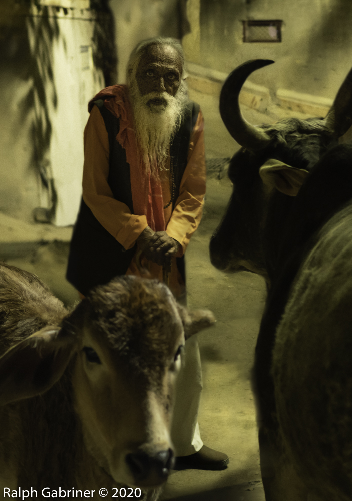 old man and cows